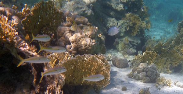Barwena żółtopas - Mulloidichthys-flavolineatus - Yellowstripe goatfish  Red Sea goatfish - ryby Morza Czerwonego