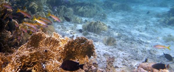 Barwena żółta - Mulloidichthys martinicus - Yellow goatfish  Red Sea goatfish - ryby Morza Czerwonego