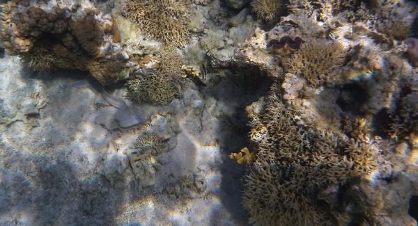 Murena - Moray - ryby Morza Czerwonego