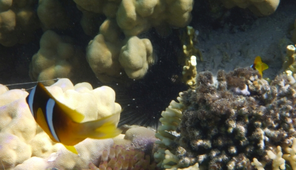 Nemo - błazenek dwupręgi - Red Sea Clownfish - ryby Morza Czerwonego