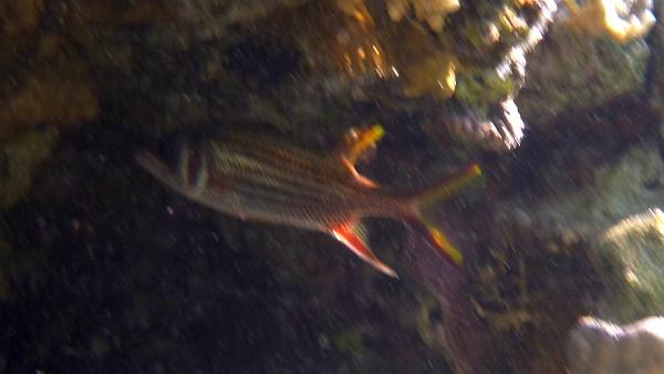 Hajduczek nakrapiany -  Neoniphon sammara - Bloodspot squirrelfish - ryby Morza Czerwonego