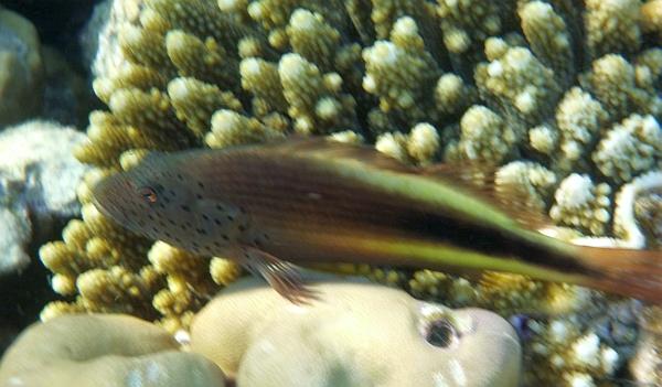 Żagiewka piegowata - Paracirrhites forsteri - Blackside Hawkfish, Freckled hawkfish - ryby Morza Czerwonego