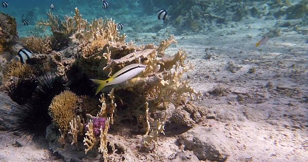 Sułtanka czerwonomorska Parupeneus forsskali  Red Sea goatfish - ryby Morza Czerwonego