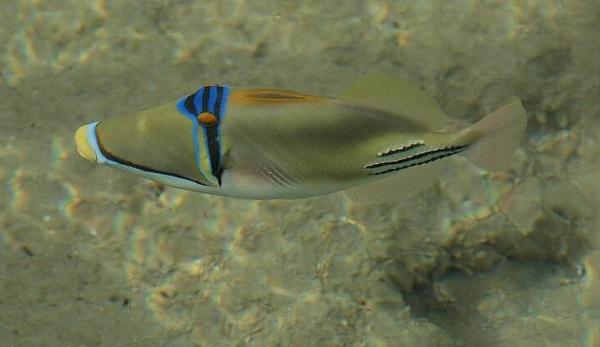 Rogatnica Picasso - Rhinecnthus assasi - Rożec arabski, Arabian Picasso triggerfish - ryby Morza Czerwonego