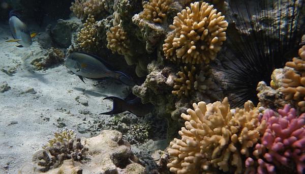 Pokolec arabski - Acanthurus sohal - ryby Morza Czerwonego