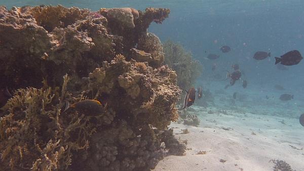 Rożec skrobacz, naso żółtogłowy, Naso lituratus, Powder blue tang, pokolec białobrody - ryby Morza Czerwonego