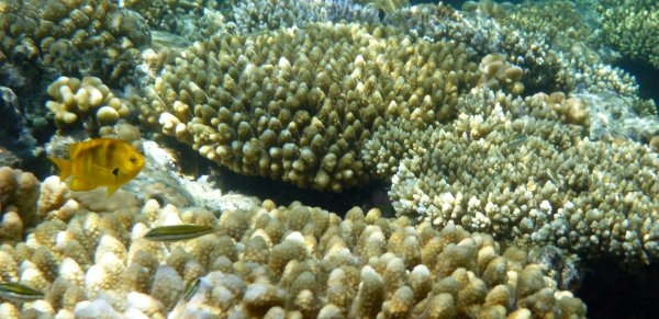 Garbik cytrynowy - Pomacentrus Sulfureus - Sulphur, Lemon damsel - ryby Morza Czerwonego