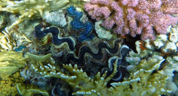 Przydacznia  muszlowiec  - Tridacna maxima - Small giant clam, Mxima clam - ryby Morza Czerwonego