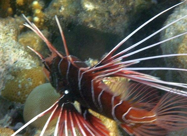 Skrzydlica, ognica promieniopłetwa, Pterois radiata, Clearfin lionfish - ryby Morza Czerwonego
