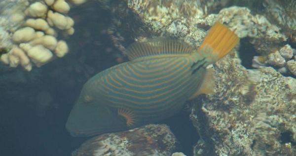 Rogatnica kolczasta - balistapus undulatus - Striped Triggerfish - ryby Morza Czerwonego