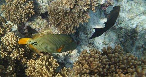 Rogatnica kolczasta zielona- balistapus undulatus - Striped Triggerfish - ryby Morza Czerwonego