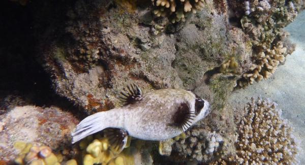Rozdymka -  Arothron diadematus, Masked puffer, Arotron -  Ryby rozdymkowate - Tetraodontidae - - ryby Morza Czerwonego