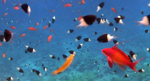 Papużak łuskopłetwy - Pseudanthias squamipinnis Lyretail Anthias,  Blue Anthias, Purple Eye Anthias, Sea Goldie  - ryby Morza Czerwonego