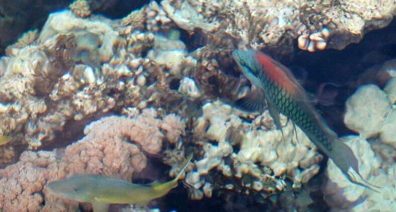 Wargacz temblakoszczęki  Slingjaw Wrasse - Epiulus insidato - ryby Morza Czerwonego