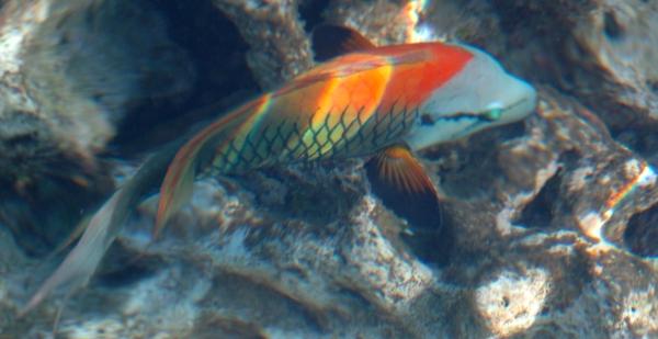 Wargacz temblakoszczęki  - Slingjaw Wrasse - Epiulus insidato   - ryby Morza Czerwonego