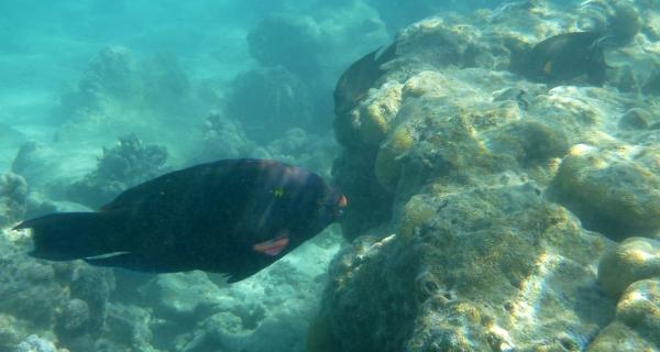 Papugoryba okularnik Chlorurus perspicillatus Spectacled Parrotfish - ryby Morza Czerwonego