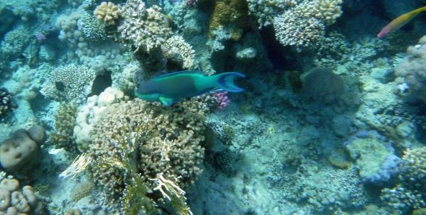 Papugoryba garbogłowa - Chlorurus microrhinos - Blunt-head, Steep-headed Parrotfish - ryby Morza Czerwonego