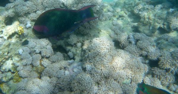 Papugoryba śniada - Scarus niger - Swarthy, Dusky, Black Parrotfish  Scaridae - ryby Morza Czerwonego