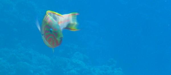 Wargacz karnawałowy  Thalassoma rueppellii - Klunzingers wrasse, Rueppells wrasse - ryby Morza Czerwonego