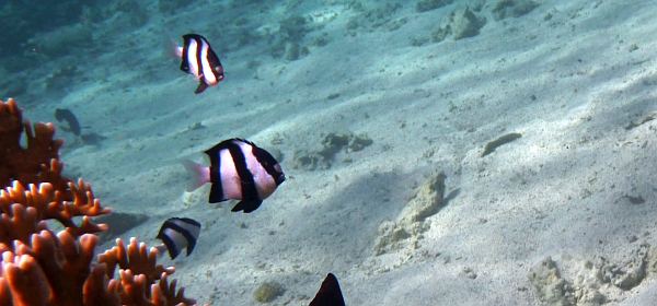 Dascylus zebra - Dascyllus aruanus Humbug Dascyllus, Striped Damselfish - ryby Morza Czerwonego
