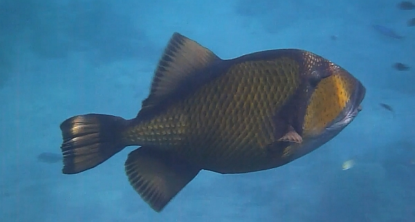 Rogatnica zielonkawa - Titan triggerfish - Balistoides viridescens - ryby Morza Czerwonego