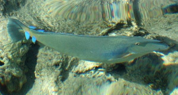Rożec Pinokio Bluespine Unicornfish Unicorn Tang - ryby Morza Czerwonego