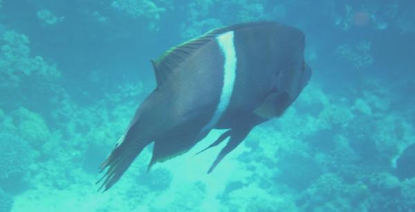 Wargacz-błazenek Clown wrasse Coris aygula - ryby Morza Czerwonego