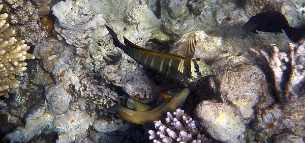 Zebrasoma wielobarwna - Zebrasoma Desjardinii - Sailfin Tang - ryby Morza Czerwonego