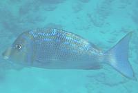 Letra niebieska, Lethrinus nebulosus, Bluescale emperor