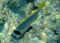 Sparus czarnolicy - Acanthopagrus bifasciatus - Twobar seabream