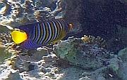 Royal angelfish, Pygoplites diacanthus, Aniołoryba wspaniała - ryby Morza Czerwonego
