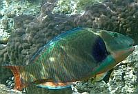 Papugoryby - Skarusowate - Scaridae ryby Morza Czerwonego