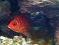 Ryby latarnikowate, Latarnice - Priacanthidae ryby Morza Czerwonego