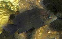 Garbik Czarny - Neoglyphidodon melas - bowtie, black, bluefin or royal damsel, damselfish  - ryby Morza Czerwonego