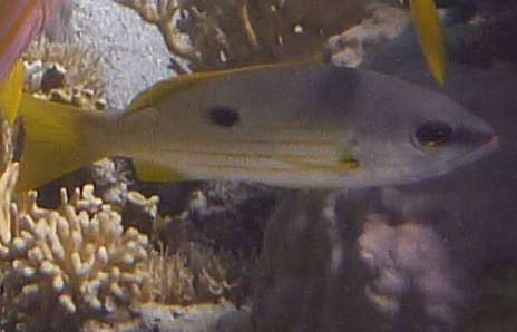 Ryby lucjanowate, Lucjany, Lutjanidae, Snappers ryby Morza Czerwonego