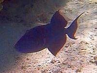 Rogatnica niebieska - Blue Triggerfish, Black Triggerfish, Redtooth Triggerfish - Pseudobalistes fuscus - ryby Morza Czerwonego