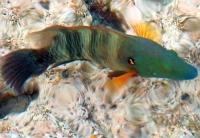 Wargacz Miotełkowy-ogon Ryby Morze Czerwone