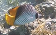 Lined butterfly fish, Chaetodon lineolatus, Chetonik smużkowy - ryby Morza Czerwonego