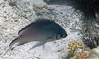 Chromis srebrzysty Chromis amboinensis Ambon chromis  - ryby Morza Czerwonego