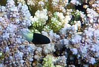 Chromis dwubarwny - Twotone Chromis - Chromis dimidiata  - ryby Morza Czerwonego