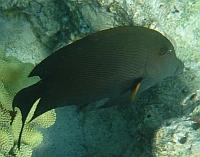 Pokolec pršżkowany - Striped Bristletooth, Lined Bristletooth - Ctenochaetus striatus  - ryby Morza Czerwonego