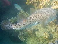 Ryby najeżkowate, Najeżki - Diodontidae - Tetraodontidae ryby Morza Czerwonego