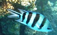 Garbik pasiasty - Abudefduf saxatilis Sergeant major fish Ryby Morze Czerwone