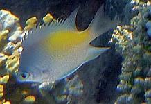 Ryby  Garbikowate - Pomacentridae ryby Morza Czerwonego