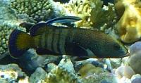 Granik pasiasty /epoletowy/ - Epinephelus stoliczkae Epaulet grouper  - ryby Morza Czerwonego