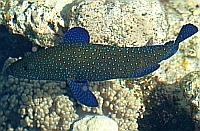 Ryby Strzępielowate Serranidae  - ryby Morza Czerwonego