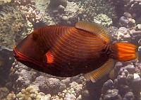 Rogatnica kolczasta niebieska - balistapus undulatus - Striped Triggerfish   - ryby Morza Czerwonego