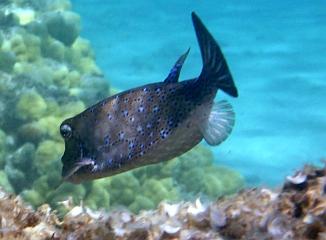 Kostera gruzełkowata Cubicus Boxfish Ostracion cubicus, Ostracion cyanurus, Ostracion meleagris