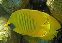 Motylek niebieskolicy - Masked Butterflyfish Chaetodon semilarvatus - ryby Morza Czerwonego