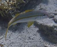 Ryby barwenowate, Mullidae, ryby Morza Czerwonego
